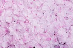 Sakura petal wall background, Texture pink cherry blossom background stock images