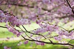 sakura piękny gałęziasty ilustracyjny wektor Zdjęcie Royalty Free