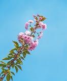 sakura piękny gałęziasty ilustracyjny wektor Obrazy Royalty Free