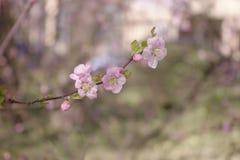 sakura piękny gałęziasty ilustracyjny wektor Zdjęcie Stock