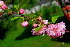 sakura piękny gałęziasty ilustracyjny wektor Fotografia Royalty Free