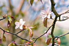 Sakura in piena fioritura Fotografia Stock Libera da Diritti