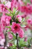 Sakura in pink. Beautiful pink flowers on the sakura tree Stock Photo