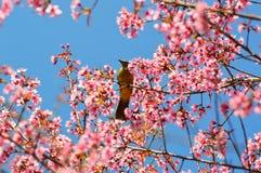 Sakura pink birds. Birds beautiful life branch sakura Royalty Free Stock Photos