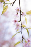 Sakura pink blossom flowers Royalty Free Stock Photography