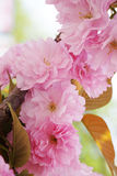 Sakura, pink cherry blossoms. Beautiful spring cherry blossoms; sakura pink flowers Royalty Free Stock Photography