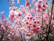 Sakura pink cherry blossoms with blue sky Royalty Free Stock Photo