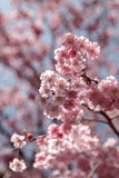 Sakura or pink cherry blossoms in spring, Japan Royalty Free Stock Image