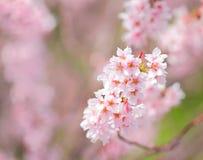 Sakura. In pink close up Royalty Free Stock Images