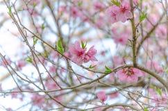 Sakura Pink in der Weichzeichnung, lizenzfreie stockfotografie