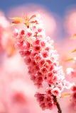 Sakura pink flower Stock Photos