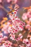 Sakura pink flower Royalty Free Stock Photography