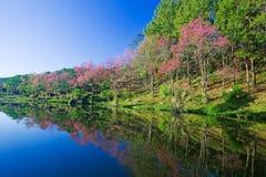 Sakura pink flower Royalty Free Stock Photo