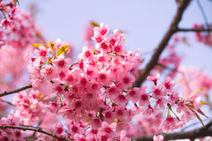 Sakura pink flower Royalty Free Stock Photography