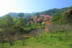 Sakura pink flower (Cherry blossom) on mountain in chiang mai, t Royalty Free Stock Images