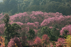 Sakura pink flower (Cherry blossom) on mountain in chiang mai, t Royalty Free Stock Photos