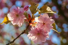 Sakura. Pink Sakura flower close up view Royalty Free Stock Photo