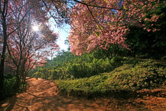 Sakura pink flower on mountain in thailand, cherry blossom Royalty Free Stock Photos