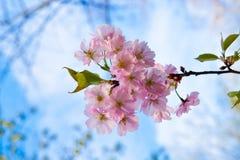Sakura pink flower Stock Image