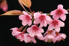 Sakura pink flower in thailand. Royalty Free Stock Image