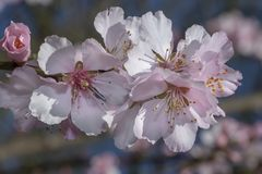 Sakura pink flowers blossoms royalty free stock photography