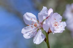 Sakura pink flowers blossoms royalty free stock photos