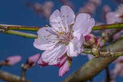 Sakura pink flowers blossoms royalty free stock images