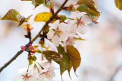 Sakura with pink flowers close up Royalty Free Stock Photo