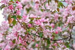Sakura pink flowers close up, cherry blossoms royalty free stock photo