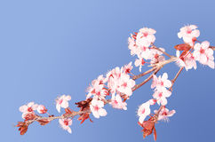 Sakura pink Japanese cherry blossom branch Stock Image