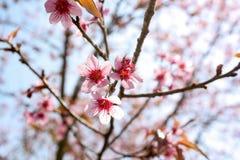 Sakura 1 Royalty Free Stock Photo