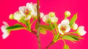 Sakura on pink stock video footage