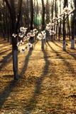 Sakura pod zmierzchem Obraz Stock