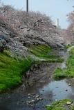 Sakura près de Tokyo images libres de droits