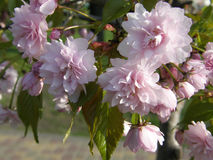 Sakura in primavera Fotografia Stock Libera da Diritti