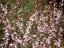 Sakura in primavera Immagini Stock