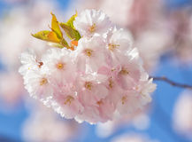 Sakura. Prunus serrulata. Stock Photo