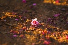 Sakura que cae en la tierra fotos de archivo