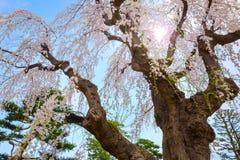 Sakura que llora en el jardín japonés conmemorativo de Fujita en Hirosaki, Japón imagenes de archivo