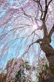 Sakura que llora en el jardín japonés conmemorativo de Fujita en Hirosaki, Japón foto de archivo