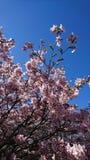 Härliga rosa sakura blommor med blå himmel på bakgrunden royaltyfri fotografi