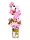 Sakura. Rama de la flor de cerezo en el florero de cristal aislado Imagen de archivo