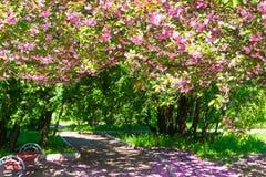 Sakura ramifica los flores en un jardín de flores, paisaje hermoso de la primavera en el día brillante Fotografía de archivo