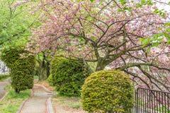 Sakura on the road Royalty Free Stock Photo