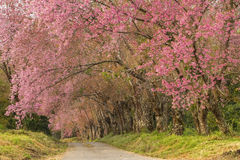 Sakura Road Royalty Free Stock Image