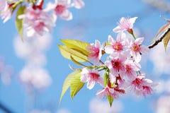 Sakura rosa adorabile con le giovani foglie verdi immagine stock