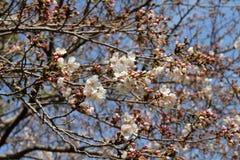 Sakura rosa che fiorisce durante l'inizio della stagione primaverile immagine stock