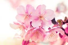 Sakura rosa, Cherry Blossom, è il fiore più bello immagini stock