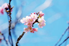 Sakura rosa-chiaro sul fondo del cielo blu fotografie stock libere da diritti