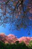 Sakura rosa färg blommar på berg i thailand, körsbärsröd blomning Arkivbild